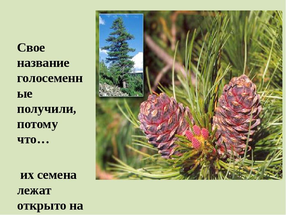 Свое название голосеменные получили, потому что… их семена лежат открыто на...