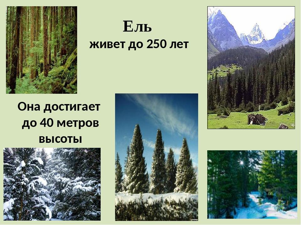 Ель живет до 250 лет Она достигает до 40 метров высоты