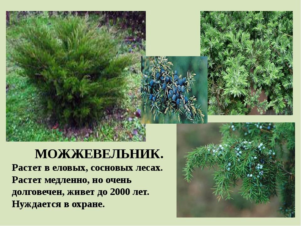 МОЖЖЕВЕЛЬНИК. Растет в еловых, сосновых лесах. Растет медленно, но очень долг...