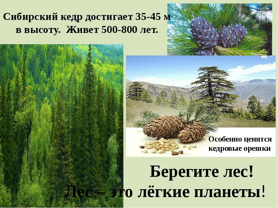 Сибирский кедр достигает 35-45 м в высоту. Живет 500-800 лет. Особенно ценятс...