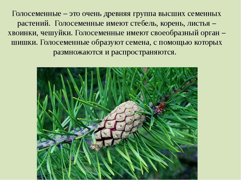 Голосеменные – это очень древняя группа высших семенных растений. Голосеменны...