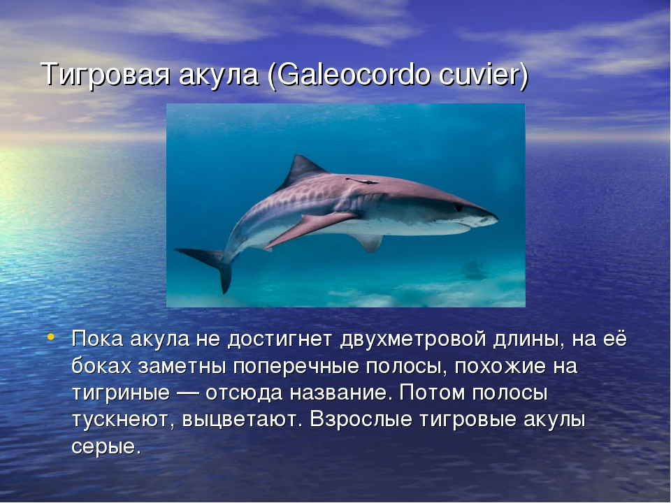 жить картинка акулы и описание черты мотивы