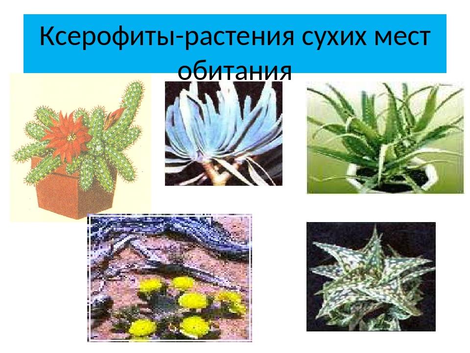 Ксерофиты-растения сухих мест обитания