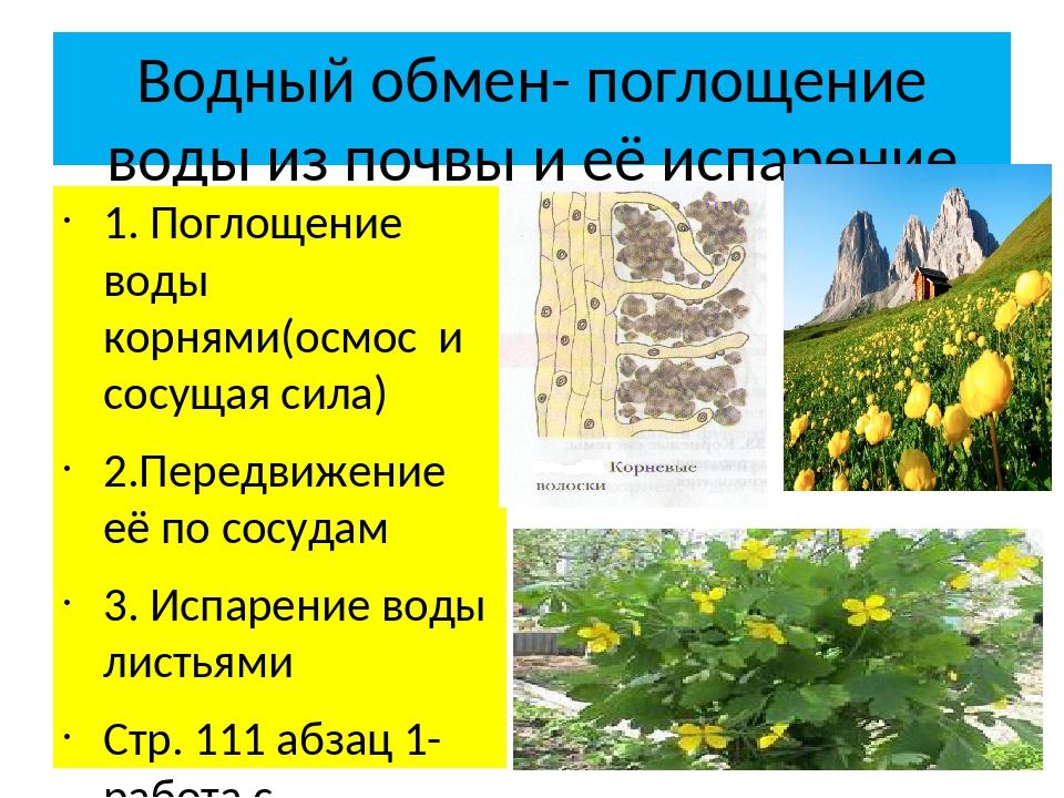 Водный обмен- поглощение воды из почвы и её испарение 1. Поглощение воды корн...