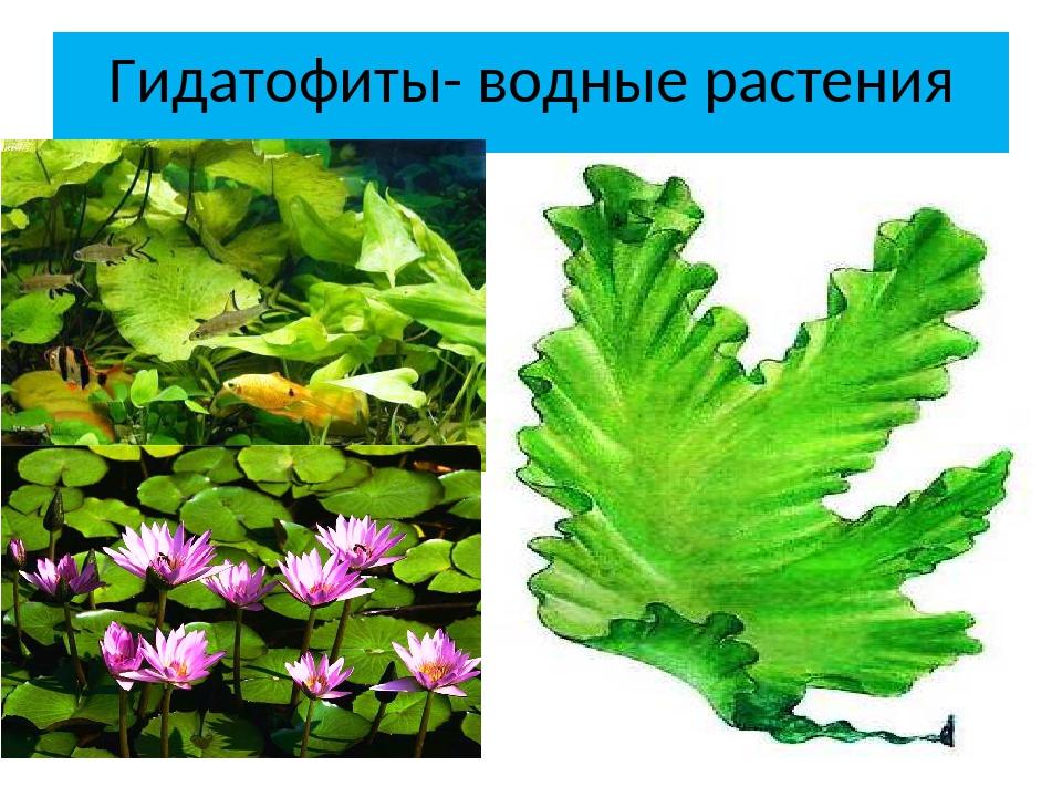 Гидатофиты- водные растения