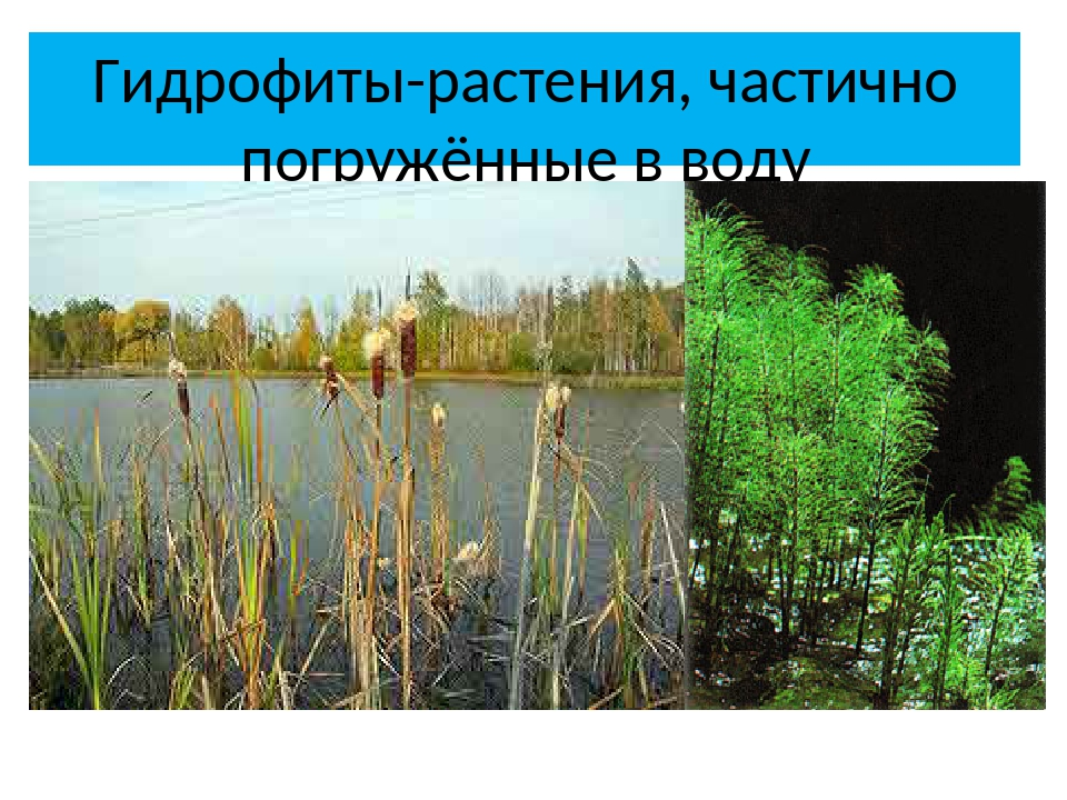 Гидрофиты-растения, частично погружённые в воду рогоз