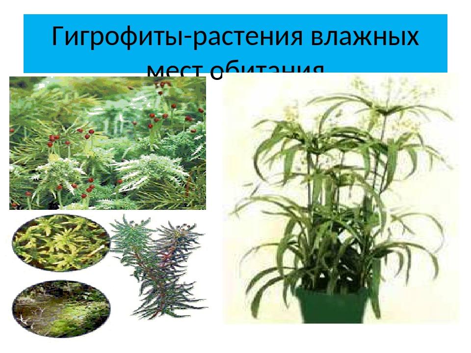 Гигрофиты-растения влажных мест обитания