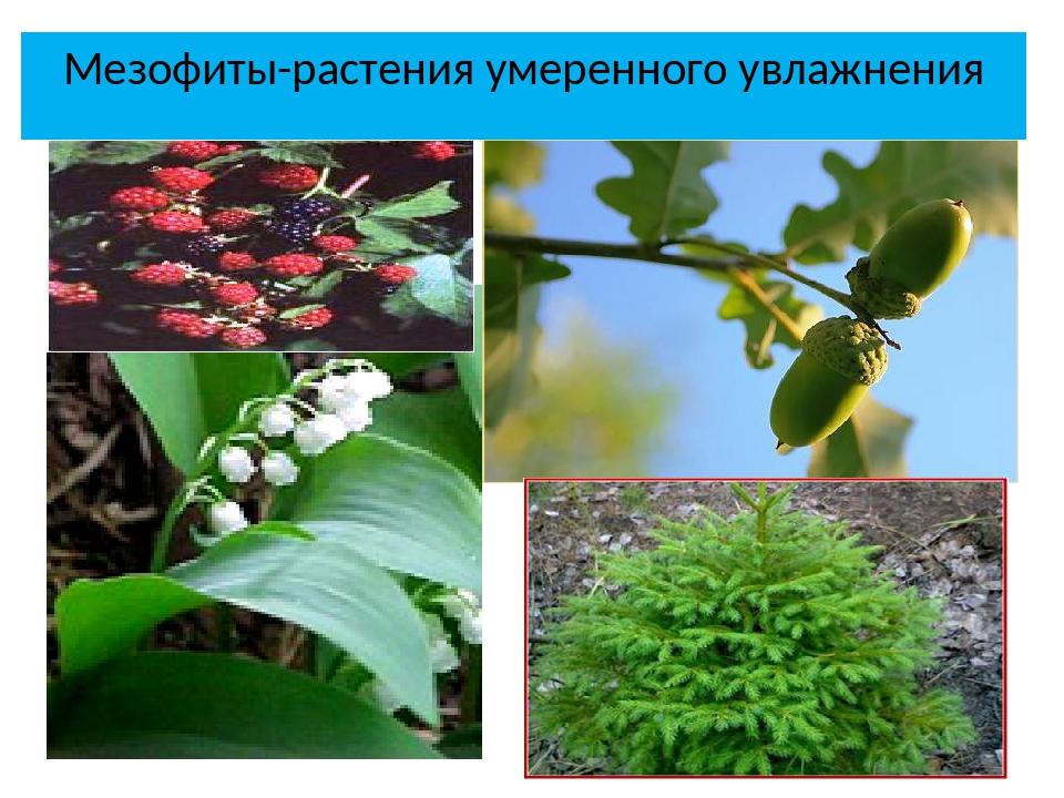 Мезофиты-растения умеренного увлажнения