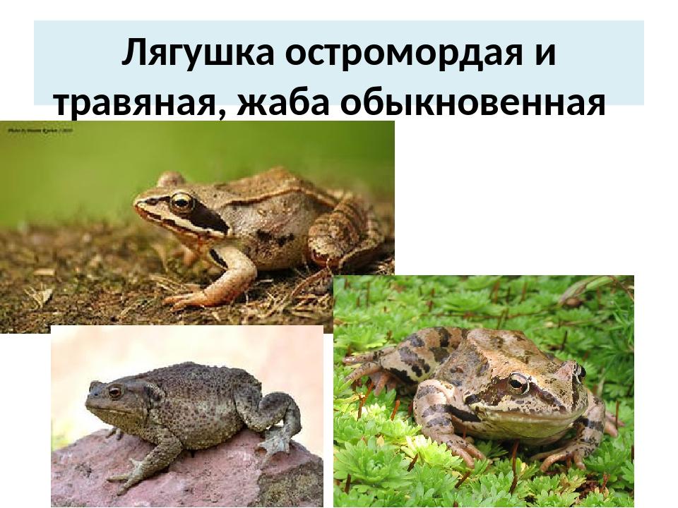 Лягушка остромордая и травяная, жаба обыкновенная
