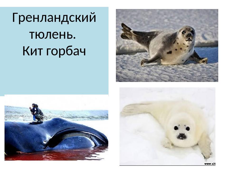 Гренландский тюлень. Кит горбач