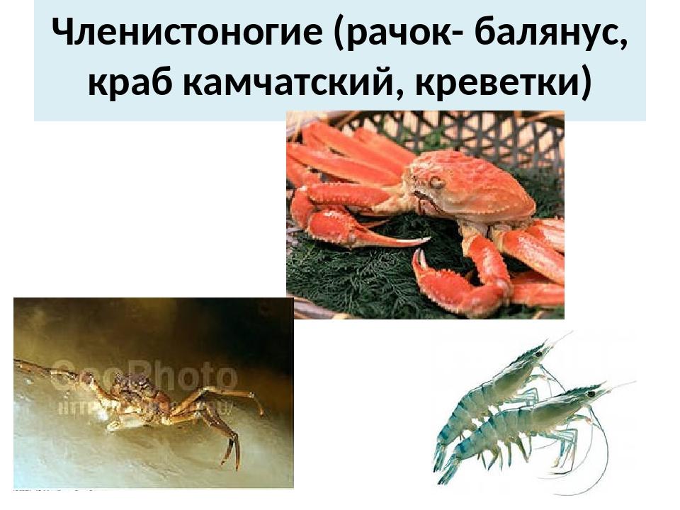Членистоногие (рачок- балянус, краб камчатский, креветки)