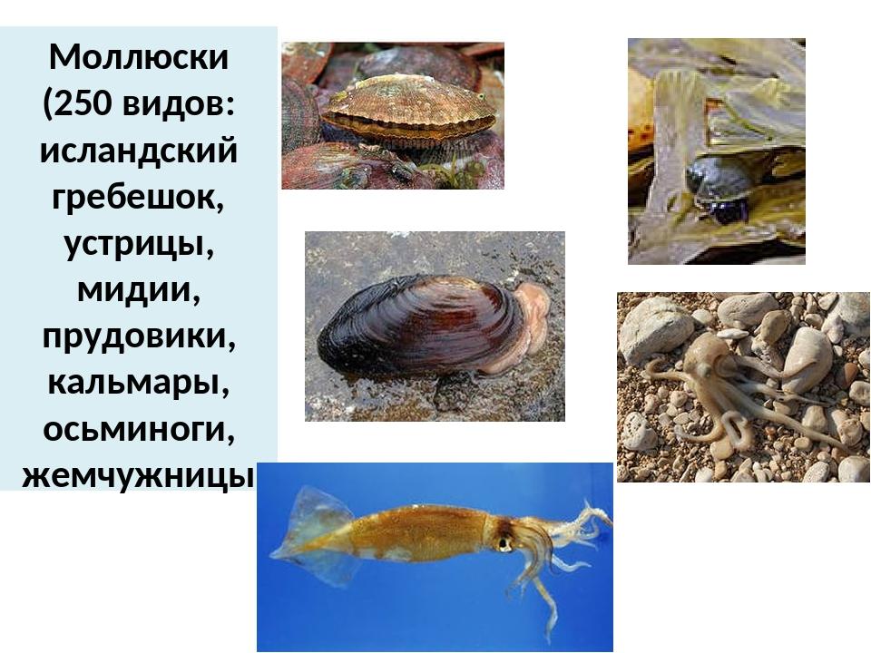 Моллюски (250 видов: исландский гребешок, устрицы, мидии, прудовики, кальмары...