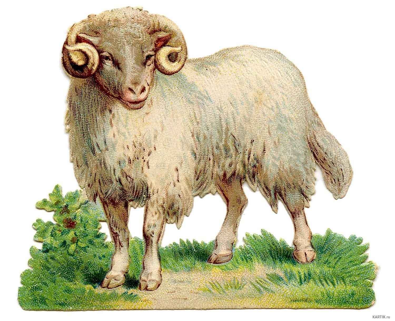 часть домашние животные коза и овца картинки планкен лиственницы это