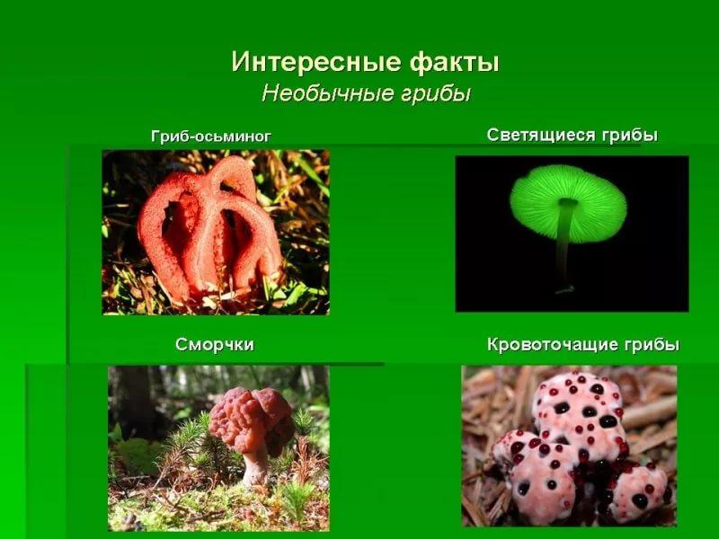 Доклад по биологии на тему грибы рекордсмены 4840