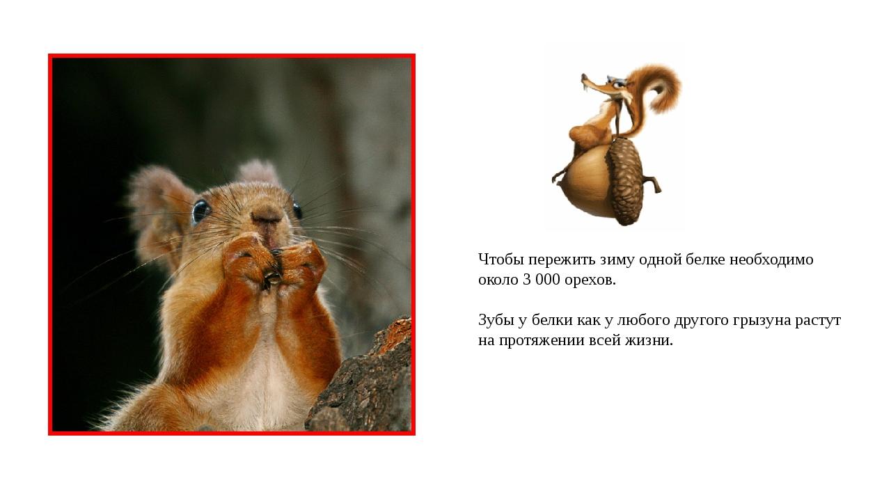 Чтобы пережить зиму одной белке необходимо около 3 000 орехов. Зубы у белки к...