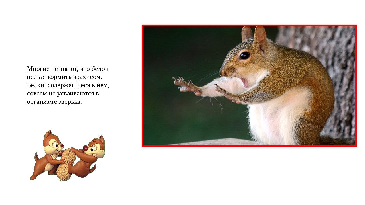 Многие не знают, что белок нельзя кормить арахисом. Белки, содержащиеся в нем...