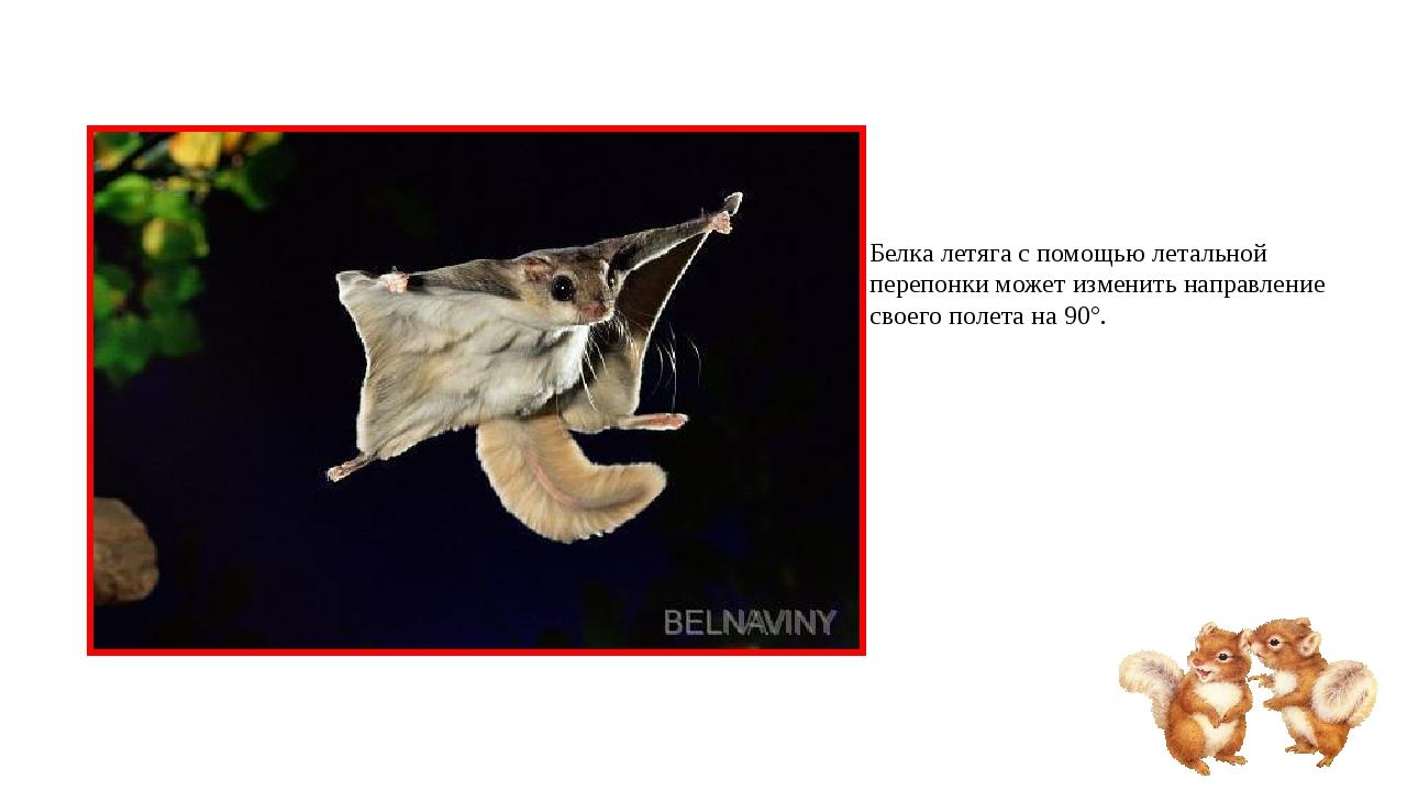 Белка летяга с помощью летальной перепонки может изменить направление своего...