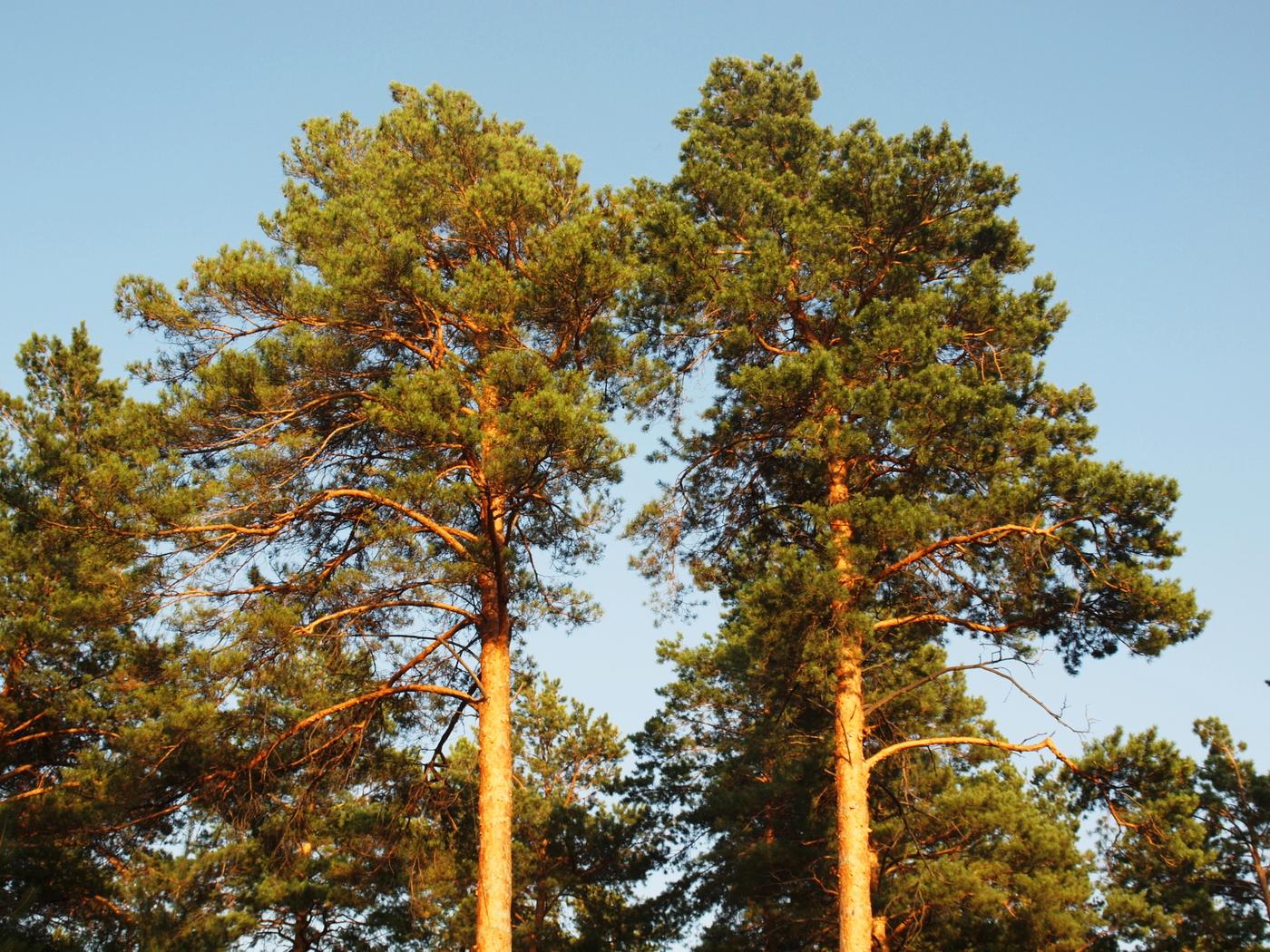 Фотография соснового дерева уже