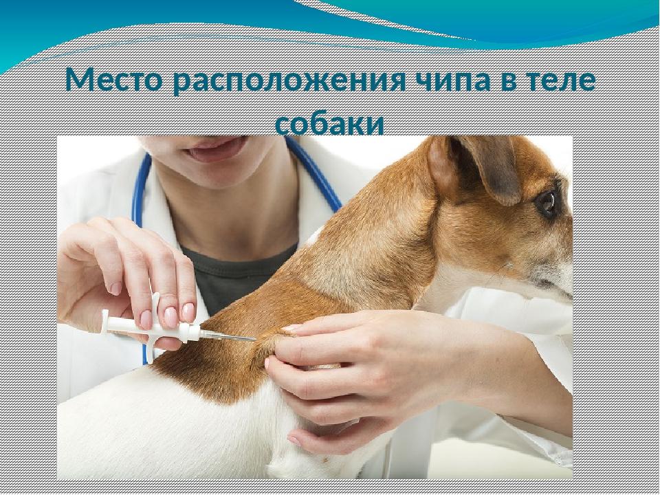 Место расположения чипа в теле собаки