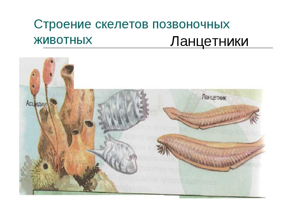 Ланцетники Строение скелетов позвоночных животных