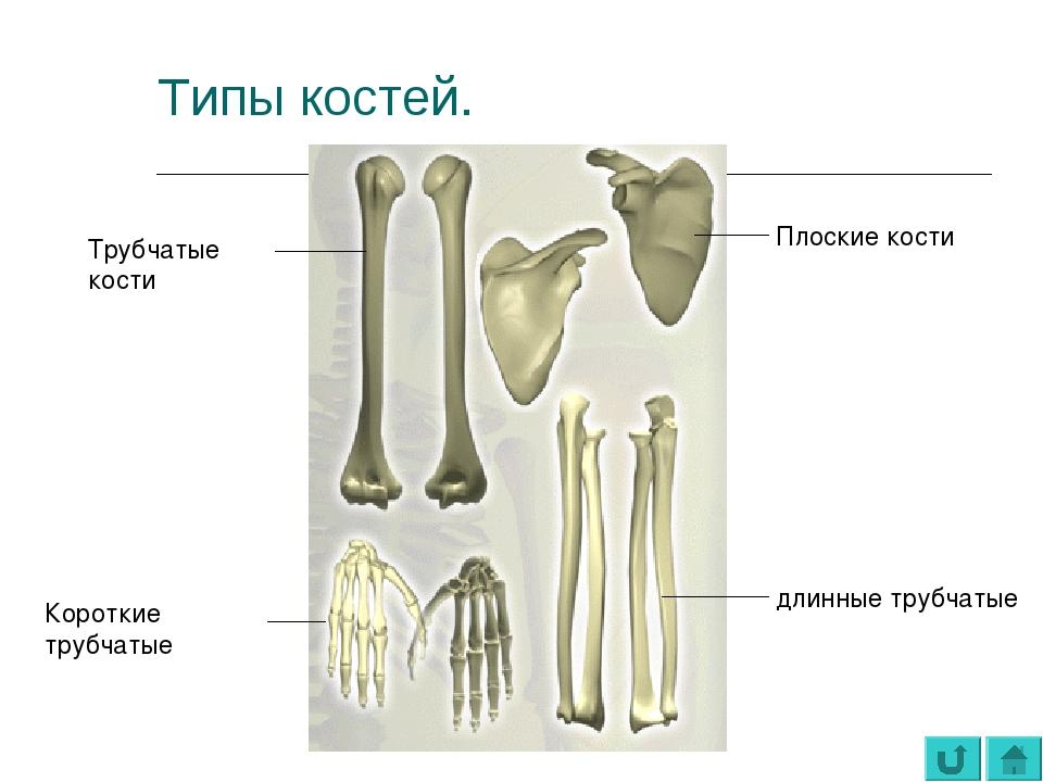 Типы костей. Трубчатые кости Короткие трубчатые Плоские кости длинные трубчатые